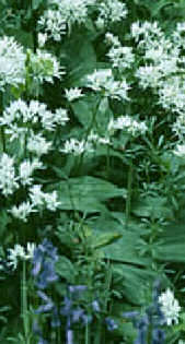 wild garlic at cotterill clough: source http://www.cheshirewildlifetrust.co.uk/res_cotterill.htm