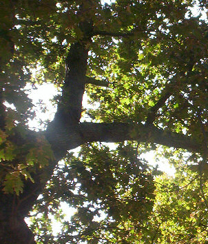 summertime's oak - celebrating beltaine