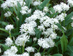 wild garlic in May - Samhain Otherworldly imagery: source http://porkpieandmustard.wordpress.com/2009/05/06/frogspawn-swallows-garlic/